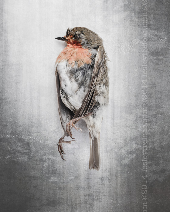 Dead French Robin