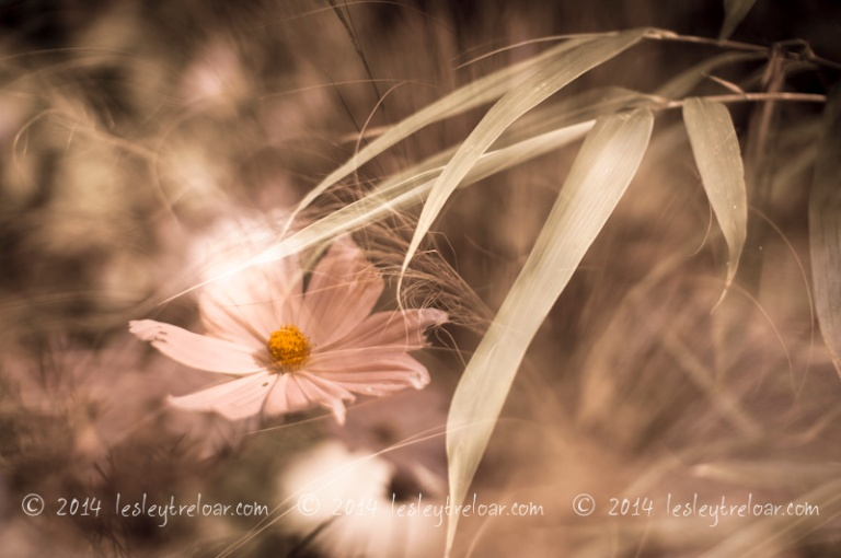 px_2014_flowers_cosmos-506