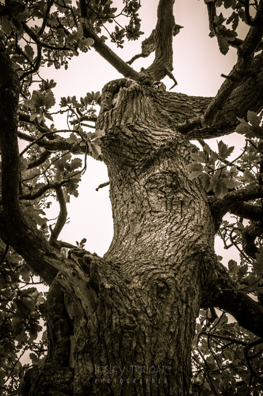 Staghorn OSk Tree Trelissick Gardens Truro Cornwall