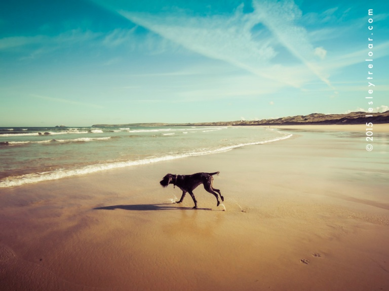 Monty on the never ending gloriously beautuiful Gwithian beach F