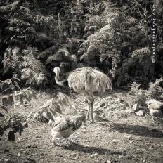 an emu too